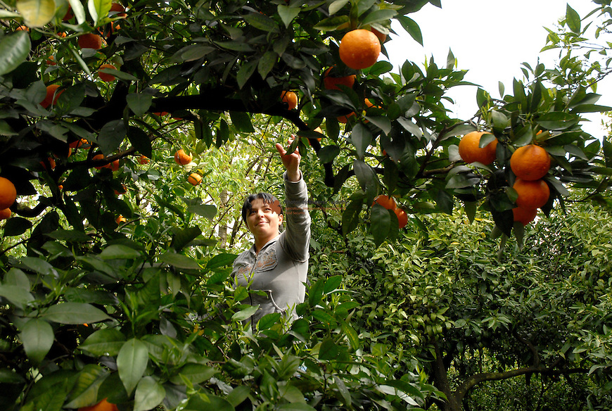 Farmer picking oranges for the market