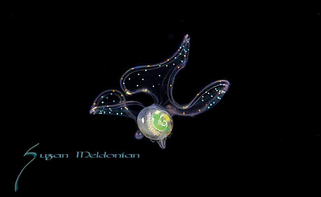 Snail, larval Veliger mollusk, Gorgeous snail larva, Plankton, Black Water Diving, Gulf Stream Current, SE Florida, Atlantic Ocean.