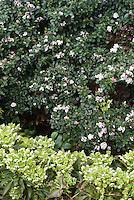 Viburnum tinus 'Gwenllian' AGM shrub, Helleborus argutifolius