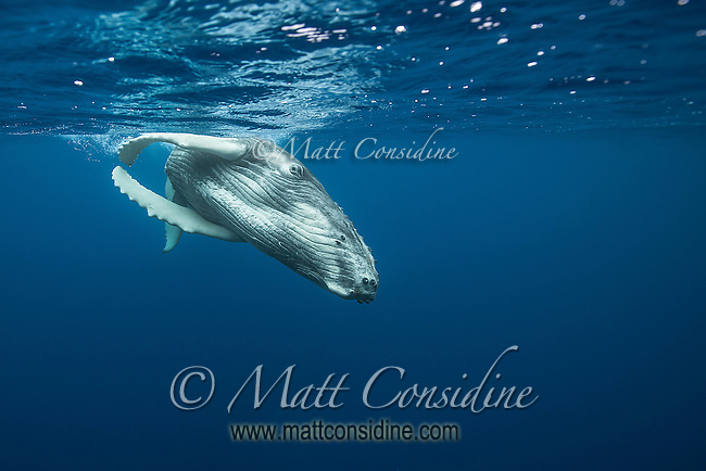 This young humpback is quite large but also very agile in the water. (Photo by Underwater Photographer Matt Considine)