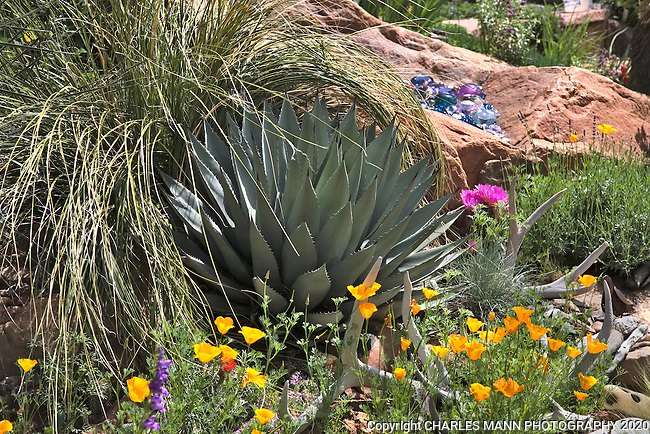 A spiky Agave parryi nestled  under a Beargrass ( Nolina) is embellished with a blooming pridkly pear, California poppies, deer  antlers and a few glass marbles in DanJohnson's Denver garden.
