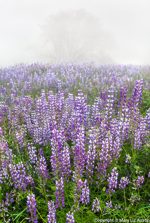Redwood National Park, CA: A field of bigleaf lupine (Lupinus polyphyllus) with Oregon white oak (Quercus garryana) in fog
