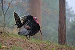 Merriam Turkey