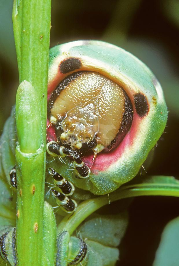 Hermelijnvlinder (erura vinula) rups