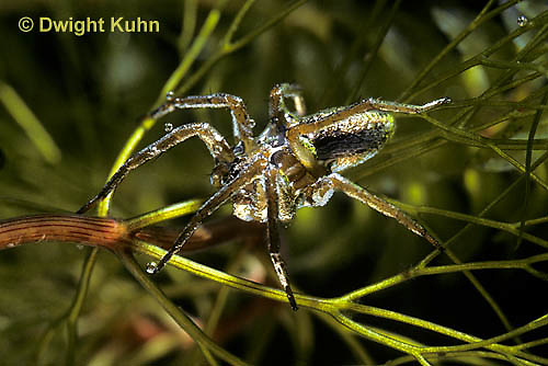 NS03-005b  Six Spotted Fishing Spider under water - Dolomedes triton