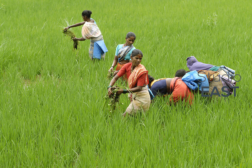 Women farmers work in a rice paddy field in Pen, about 80 miles south of Mumbai, India, on Saturday, August 4, 2007. This year's Indian monsoon, approaching the final leg of its four-month phase, qualifies to be among the best in recent years, bringing good harvest. Photo by Abhijit Bhatlekar/Pictobank.
