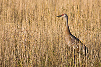 Sandhill cranes stop at Creamer's field migratory waterfowl refuge in Fairbanks, Alaska during their autumn migration south.