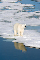Male polar bear remains diligent and focused in hopes a seal will hall out from the arctic ocean on to the drifting ice floe.