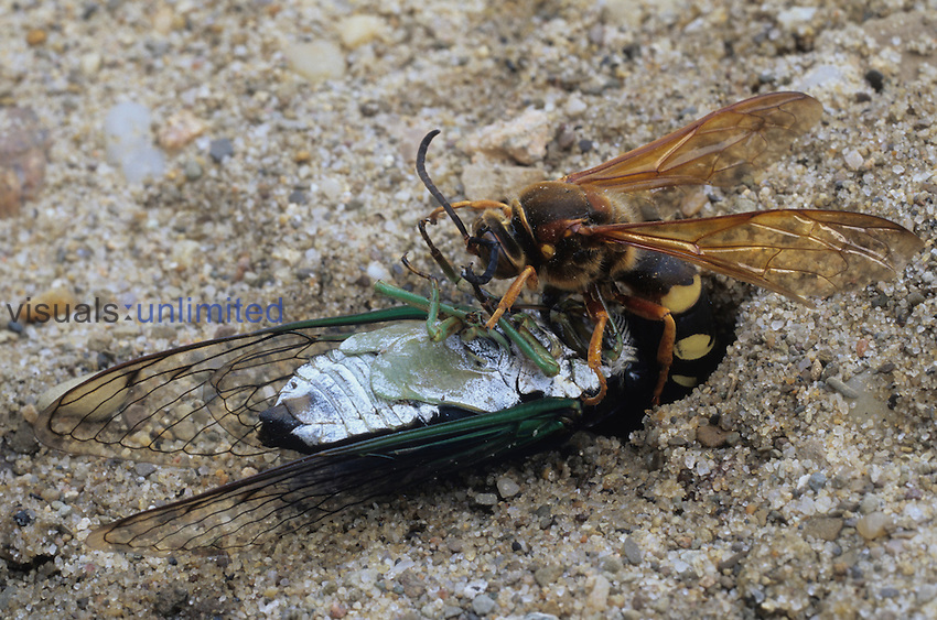 Cicada Wasp ,Sphecius speciosus, with its Cicada prey, North America.