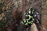Green and Black poison dart frog (Dendrobatus auratus)