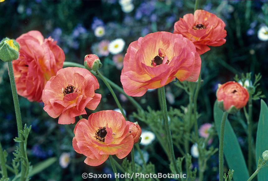 Ranunculus asiaticus (perennial) garden flower bulb
