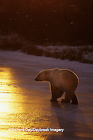 01874-01506 Polar Bear (Ursus maritimus)  walking on frozen pond at sunset Churchill  MB