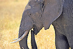 Elephant With Trunk In Mouth