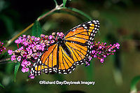 03421-005.03 Viceroy butterfly (Limenitis archippus) on Butterfly Bush (Buddleia davidii), Marion Co.  IL