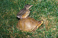 Baby robin rides box turtle through grass, Midwest USA