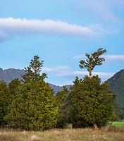 Dusk on farm with totara trees near Whataroa, South Westland, New Zealand, NZ