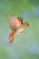 Northern Cardinal, Cardinalis cardinalis, male in flight, New Braunfels, Hill Country, Texas, USA