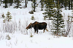 Moose. Alces alces   Monarch of the North