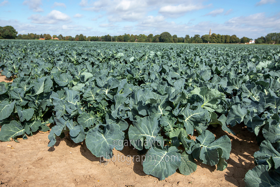 Calabrese - Lincolnshire, September