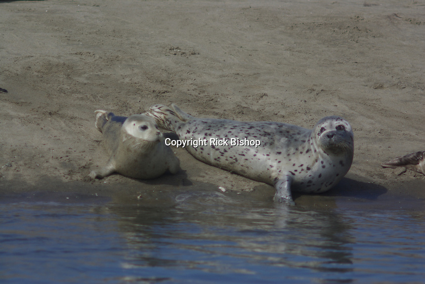 Harbor Seals rest on the beach in California on a summer day