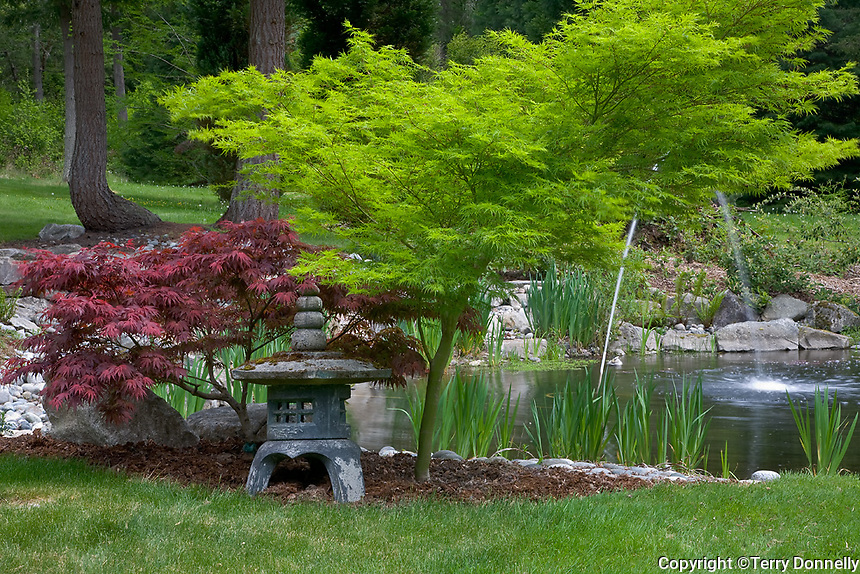 Vashon Island, WA<br /> Pacific northwest garden with Japanese lantern and Japenese maples (A. palmatum, 'Oregon Sunset and Seiru) at a pond edge