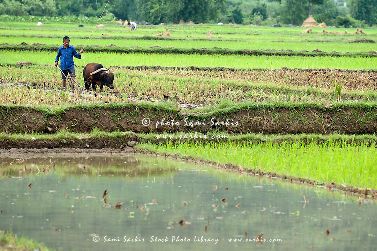 Peasant harvesting a rice paddy with a buffalo, Yangshuo, Guangxi, China.