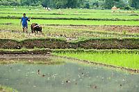 Peasant harvesting a rice paddy with a buffalo, Yangshuo, Guangxi, China.