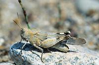Blauflügelige Ödlandschrecke, Blauflüglige Ödlandschrecke, Weibchen, Ödland-Schrecke, perfekte Tarnung auf dem Untergrund, Oedipoda caerulescens, blue-winged grasshopper, female