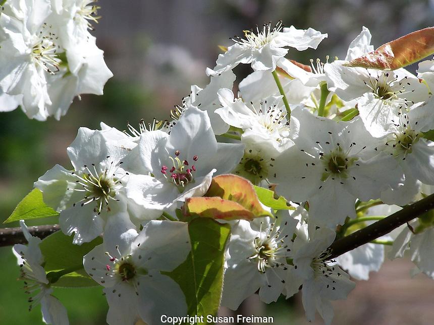Flowering asian pear tree, Joan Gussow's garden