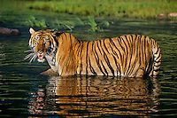 Bengal Tiger (Panthera tigris tigris) staying cool