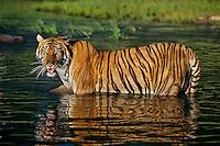 Bengal Tiger (Panthera tigris tigris) staying cool