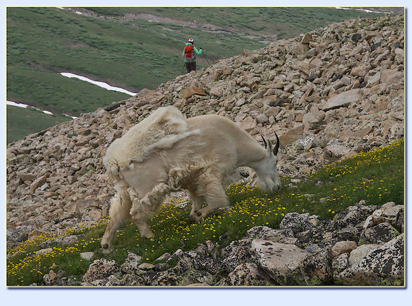 Woman hiking with mountain goat share a moment on Mt Democrat (14,154 ft), Colorado.