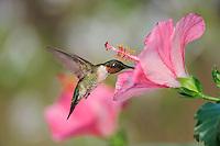 Ruby-throated Hummingbird (Archilochus colubris), male in flight feeding on flower, Hill Country, Central Texas, USA