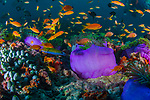 Field of underwater Purple anemones, Radianthus magnifica, healthy reefs, reefscapes, Wide Angle, Maldives