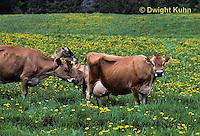 SH04-018z  Cow - Jersey cows