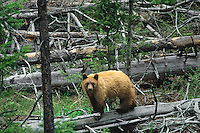 Cinnamon phase Black Bear (Ursus americanus), Western U.S., May.  Brown or cinnamon is a common color phase of Western black bear.