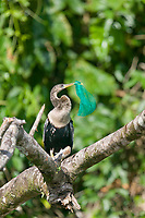 Anhinga with piece of net caught in the bill, Tortuguero, Costa Rica, Central America
