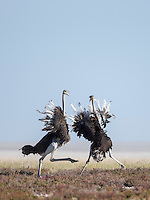 Two female Ostriches seem to be dancing, whilst in fact they are sorting out a little argument.