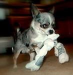 Chihuahua dob 2007 male  merle