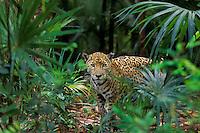 Jaguar in Central American tropical jungle.