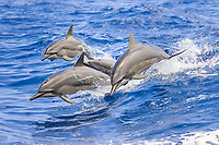 Hawaiian spinner dolphin, or Gray's spinner dolphin, Stenella longirostris longirostris, leaping our of boat wakes, Kona Coast, Big Island, Hawaii, USA, Pacific Ocean
