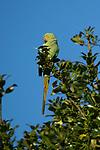 Ring-necked Parakeet, Psittacula krameri, Ramsgate, KENT UK, feeding on leaves in tree within garden, UK's only naturalised parrot