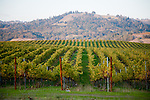 Vineyards in Sonoma County, California showing their fall colors