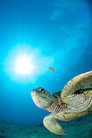 Green sea turtle Honu, swimming at Puuoalai. South shores Maui Hawaii.