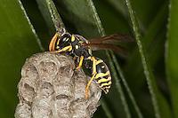 Feldwespe baut an ihrem Nest, Papiernest, Polistes gallicus, Polistes omissa, Polistes foederatus, paper wasp, Sizilien, Italien