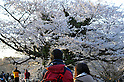 Tokyo, Japan - April 8: A couple looked at cherry blossoms as they were in full bloom at Yoyogi Park, Shibuya, Tokyo, Japan on April 8, 2012. Many people visited the park for Hanami parties, or parties under cherry blossoms, at the park and enjoyed the flowers and fair weather.