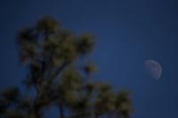 Luna, árbol  pino y cielo azul visto en el cielo del municipio de Casas Grandes Chihuahua Mexico. Moon, pine tree and blue sky seen in the sky of the municipality of Casas Grandes Chihuahua Mexico<br /> © Foto: LuisGutierrez/NORTEPHOTO.COM.