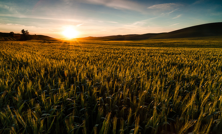 A golden sunset lights the tops of wheat stalks along a field in Eastern Washington State in the Palouse region.