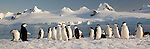 Chinstrap penguins, Half Moon Island, South Shetland Islands, Antarctica
