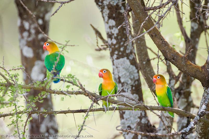 Yellow-collared Lovebird, Agapornis personatus, Serengeti National Park, Tanzania, East Africa